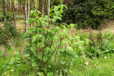 japanese knotweed removal quote